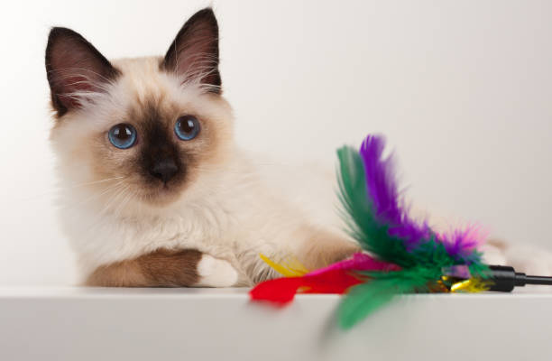 Seal point birman cat 4 month old kitten male picture id834784898?b=1&k=6&m=834784898&s=612x612&w=0&h=0f7kthhpjz3twoiu0p3wcx2rog8vcbw49gtrpkmm hq=