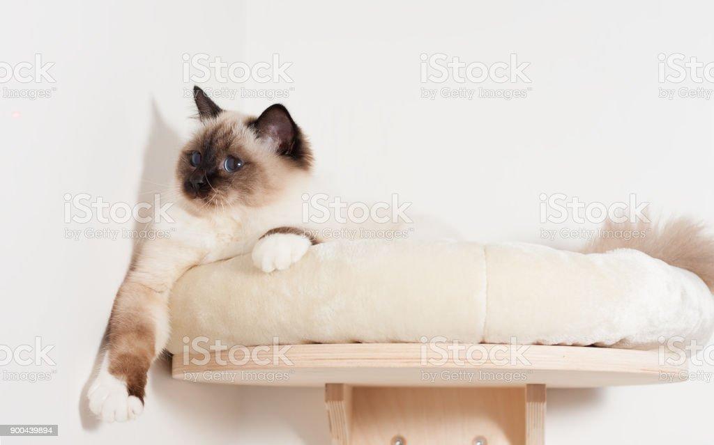 A seal point Birman cat is lying on cat shelf stock photo