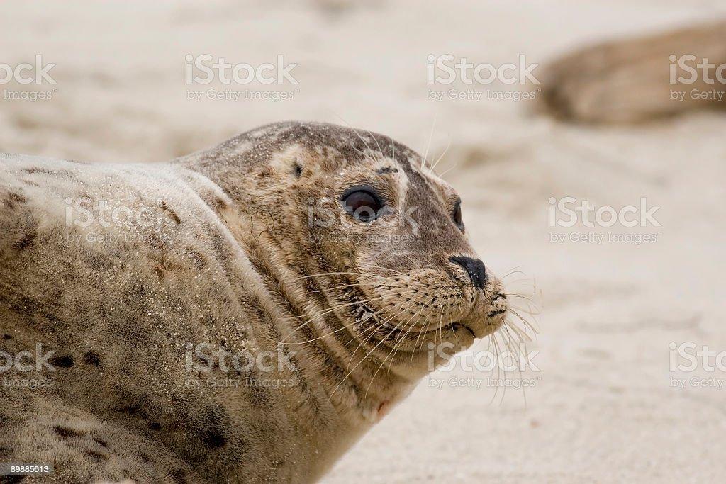 Seal Pup Close-up royalty-free stock photo