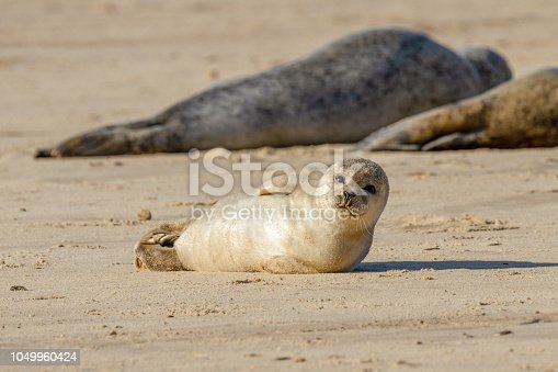 Seal pup on the beach as part of the seal colony at Horsey, Norfolk, UK