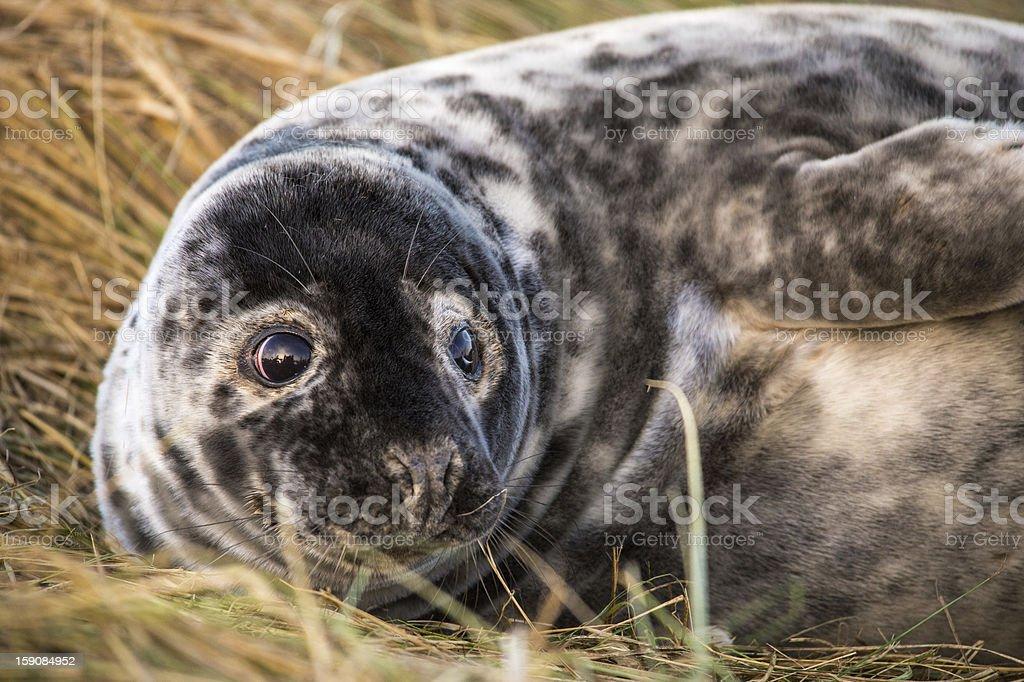 Seal Pup royalty-free stock photo