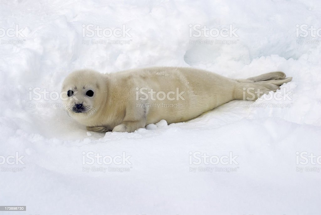 Seal Pup stock photo
