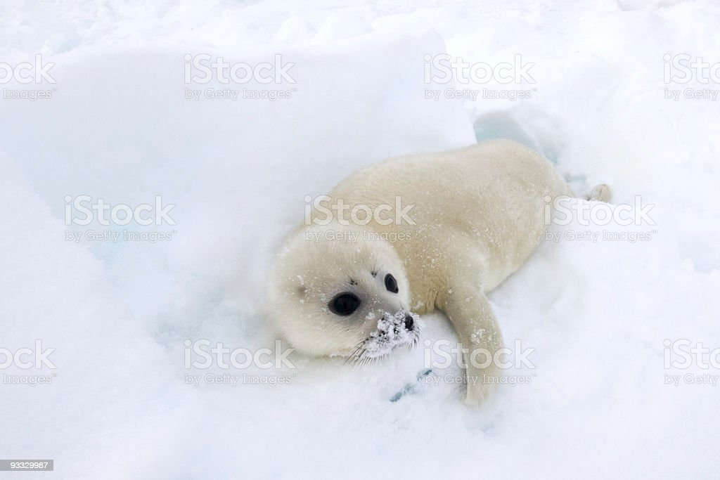 Seal Pup royalty-free stock photo