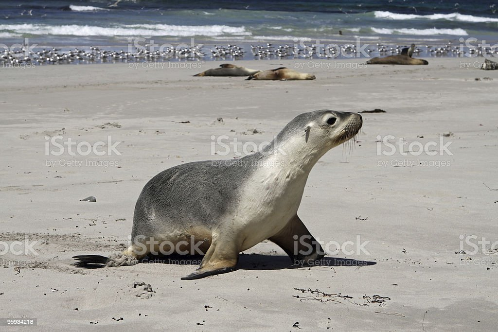 Seal Pup (Neophoca cinerea) royalty-free stock photo