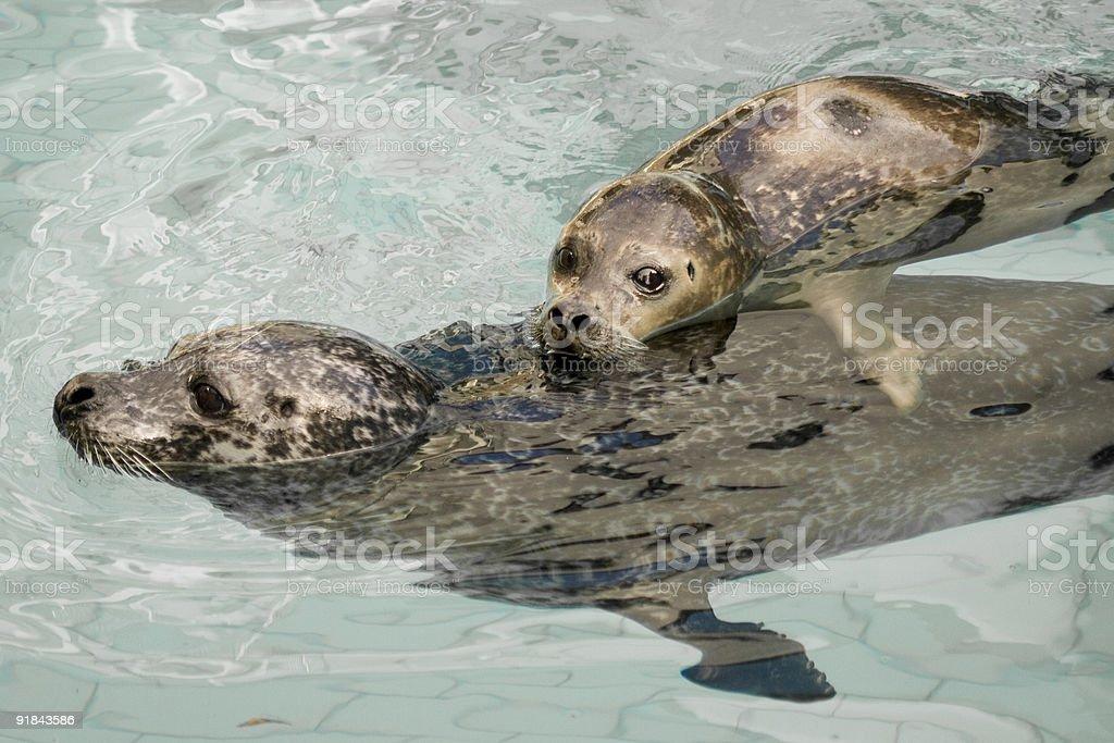Seal Pups stock photo