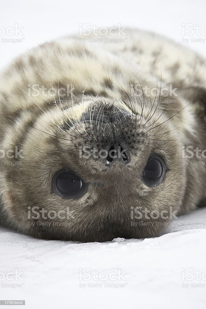 Seal rests stock photo