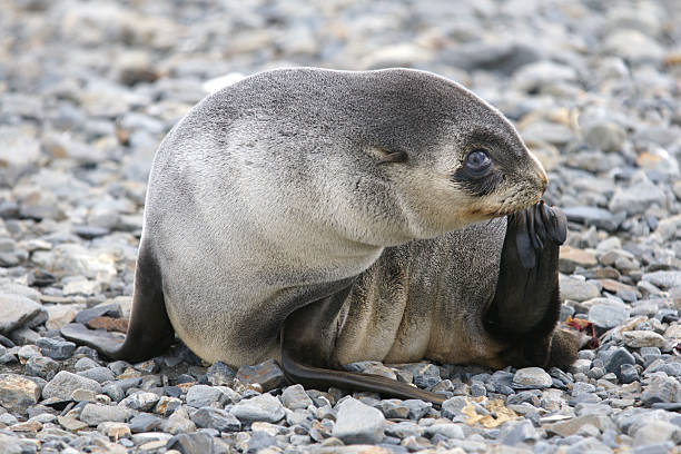 Seal scratching A young fur seal scratches itself on a beach in South Georgia south georgia island stock pictures, royalty-free photos & images