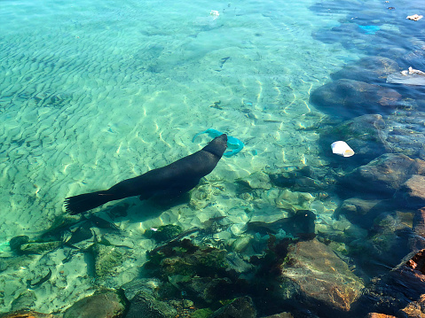 A huge male seal Seal Sea Lion swimming in dirty harbour water with plastic Water Pollution Hout Bay Cape Town Cape Peninsula South Africa