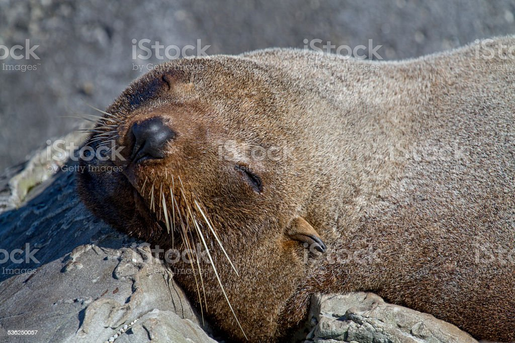 seal sleeping on the beach stock photo