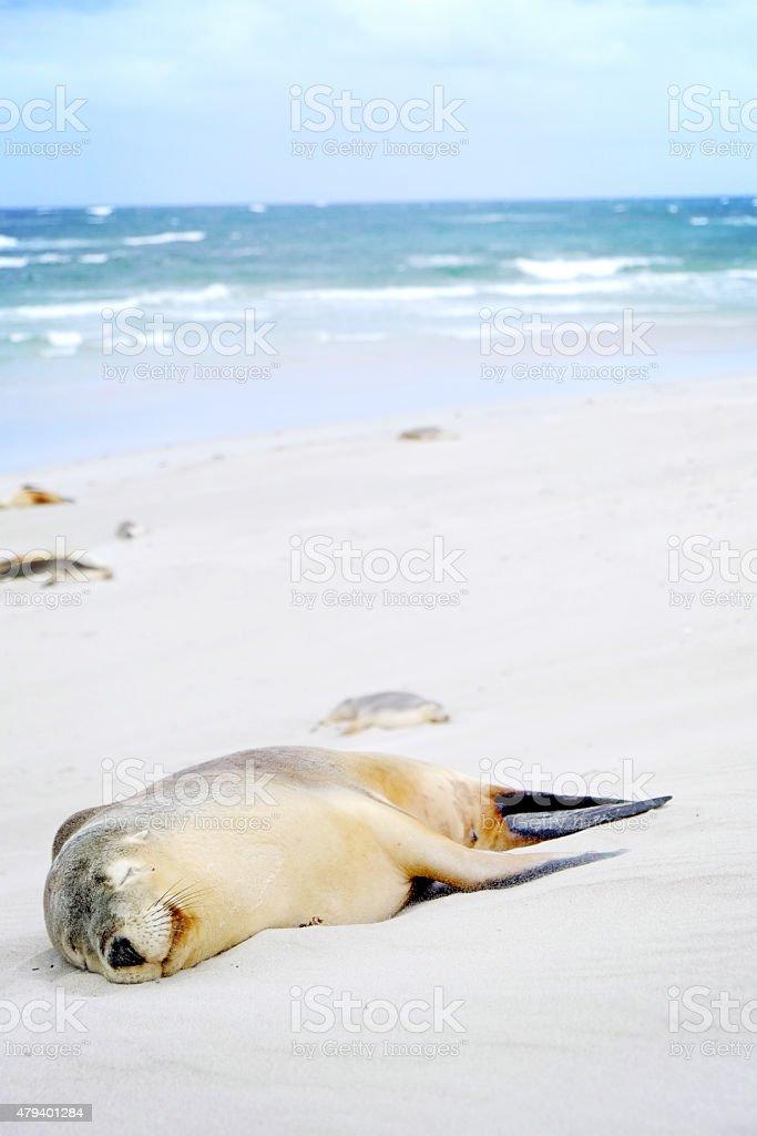 seal sleeping stock photo