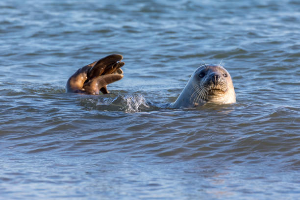Seal swimming in the North Sea – zdjęcie