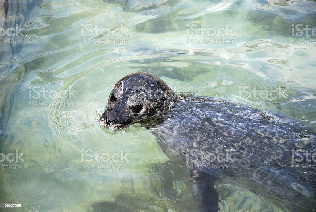 Seal swimming royalty-free stock photo