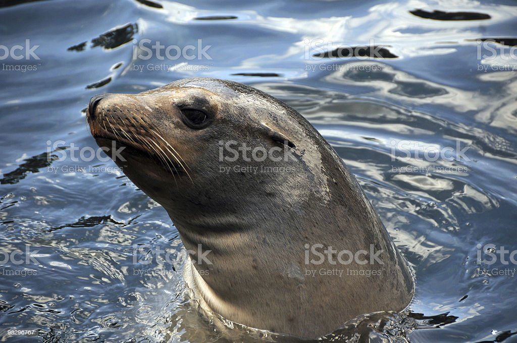 Seal swimming royalty-free stock photo