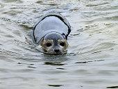 seal swimming towards the camera