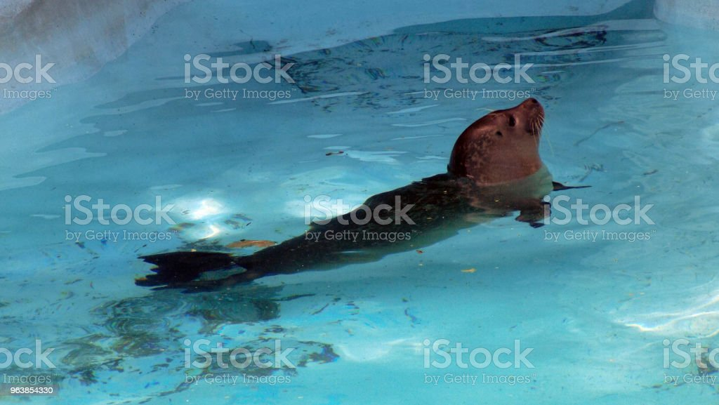Seal swims in turquoise colored water - Royalty-free Animal Stock Photo