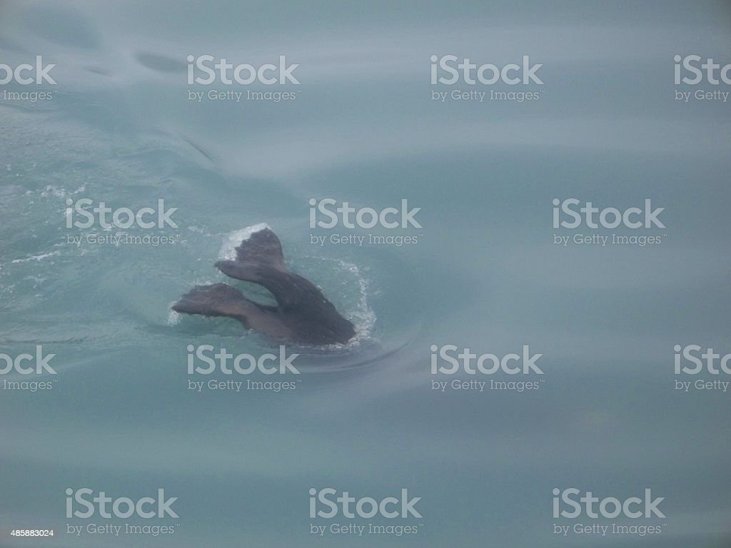 Seal Tail stock photo