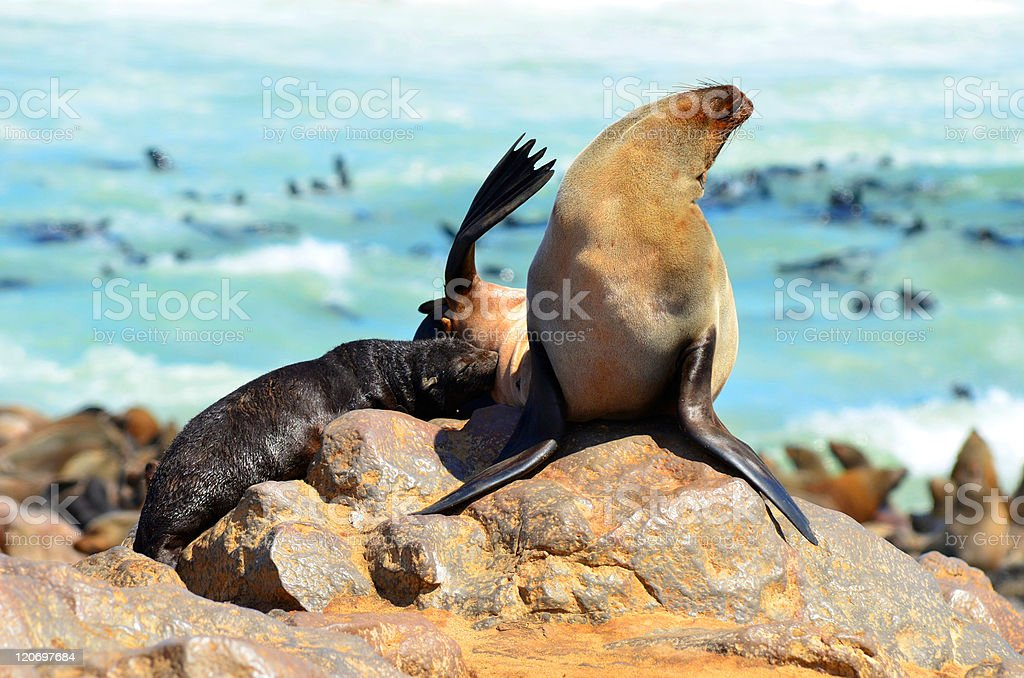 Seal with baby at breast feeding. stock photo