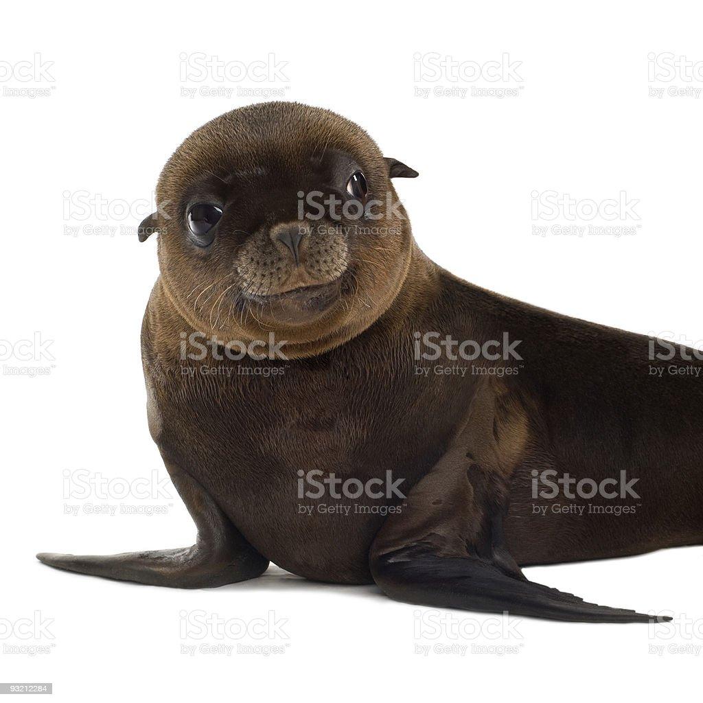 sea-lion pup (3 months) stock photo