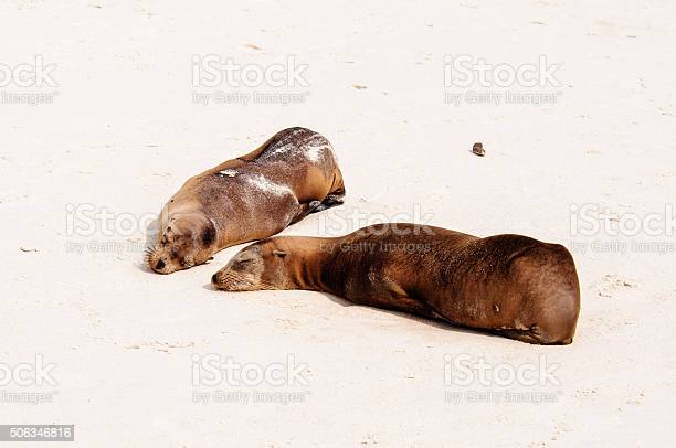 Sealion pup with mum on the beach in the Galapagos