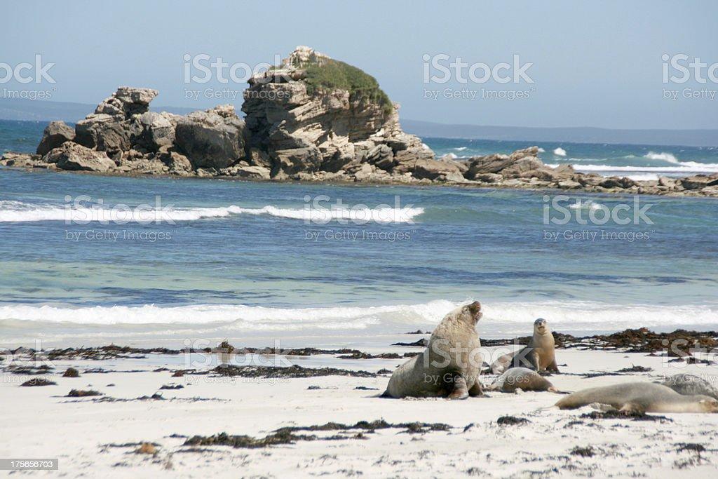 Sea-lion, Seal bay, kangaroo island, australia stock photo