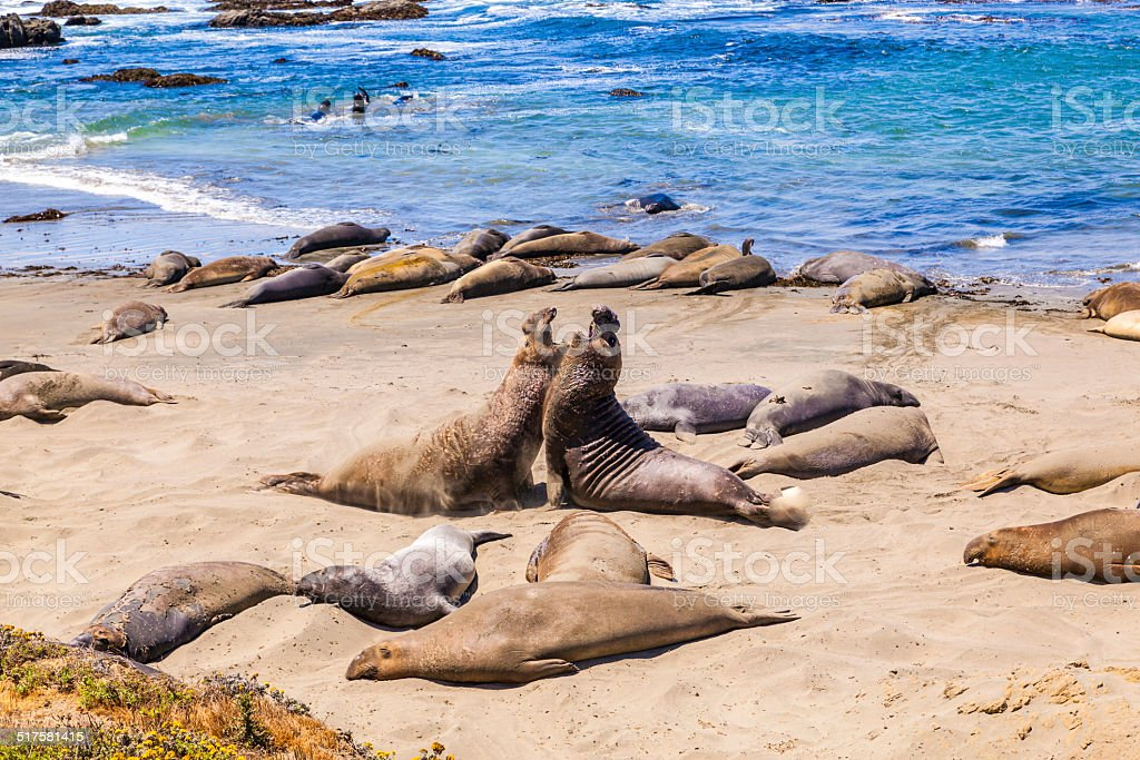 Sealions at the beach stock photo