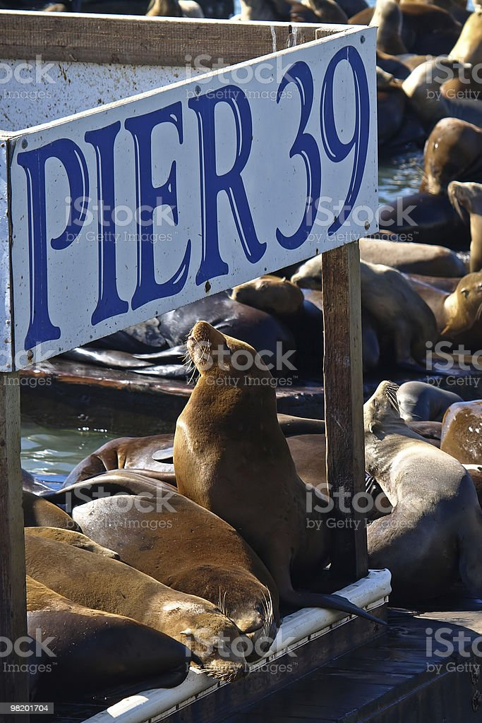 PIER 39 & Sealions in San Francisco royalty-free stock photo