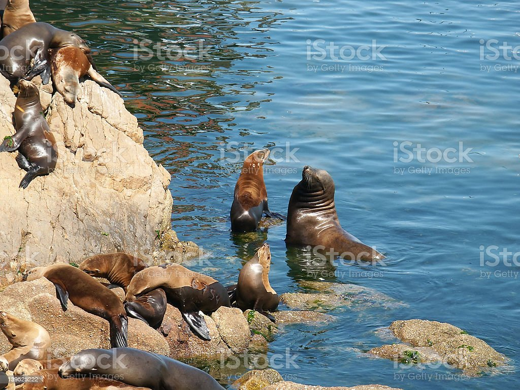 Sealions in the Monterey harbor royalty-free stock photo