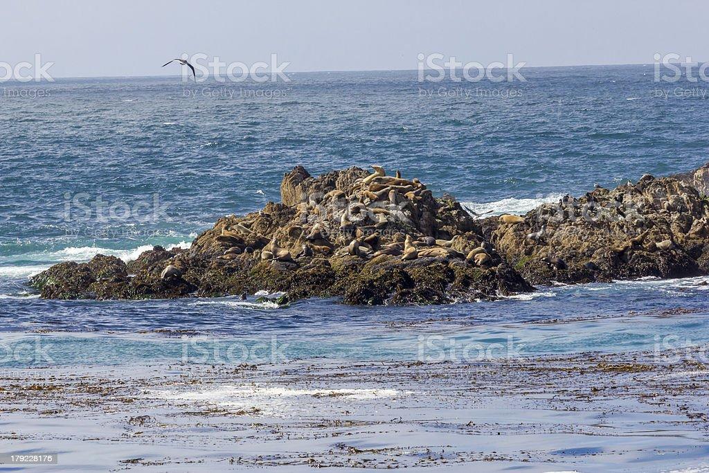 Sealions in the Monterey harbor stock photo