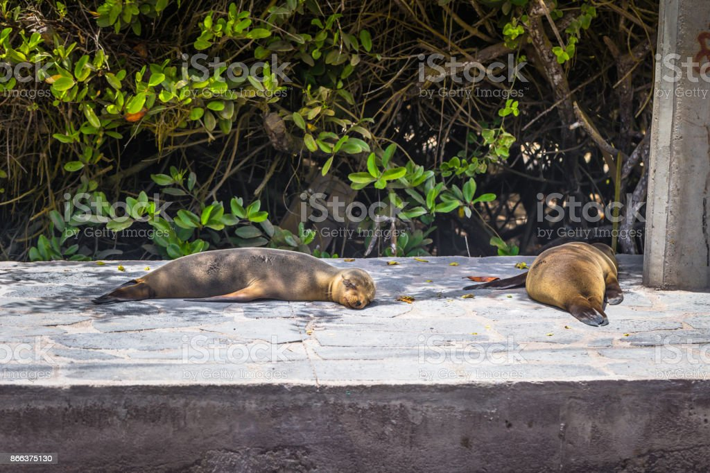 Galapagos Islands - August 25, 2017: Sealions resting in Isabela Island, Galapagos Islands, Ecuador stock photo