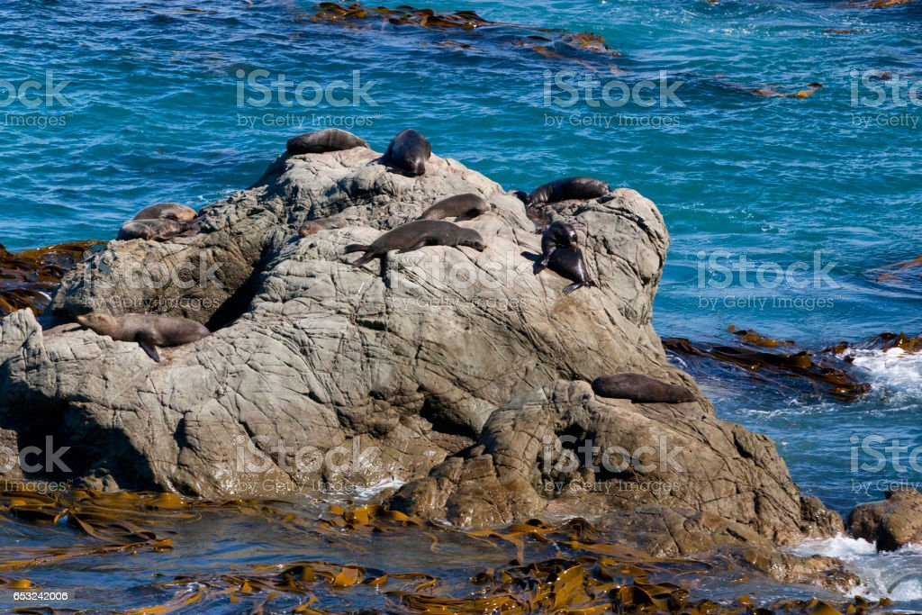 Seals along the Pacific Coast of the South Island New Zealand stock photo