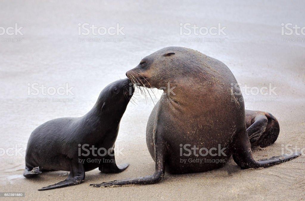 seals at cape cross stock photo