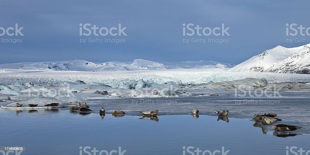 Seals at Jokulsarlon glacier lake in Iceland in winter stock photo