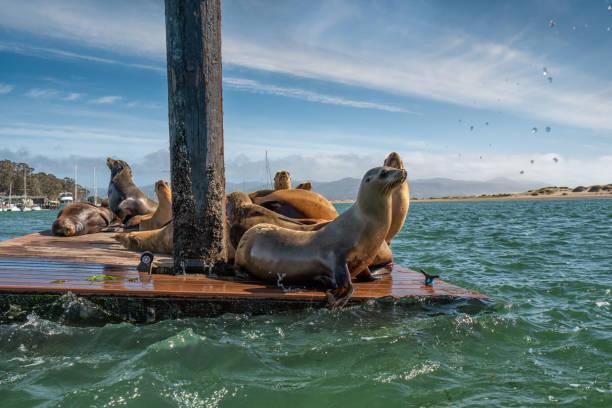 Seals at Morro Bay Harbor, California Coastline stock photo