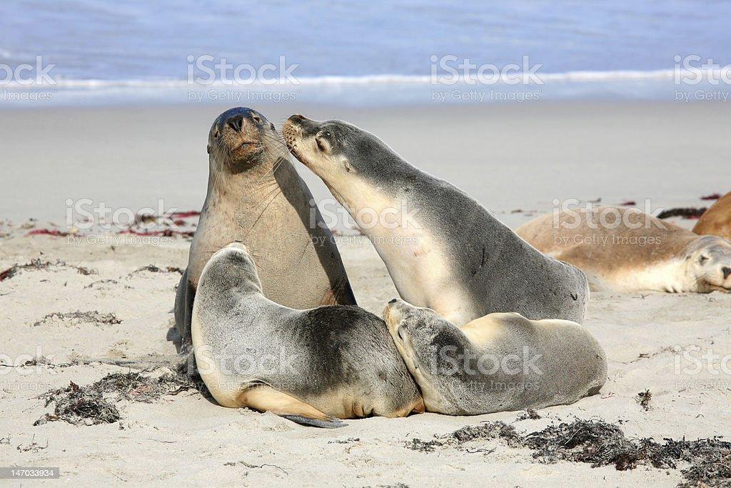 Seals at Seal Bay Kangaroo Island South Australia stock photo