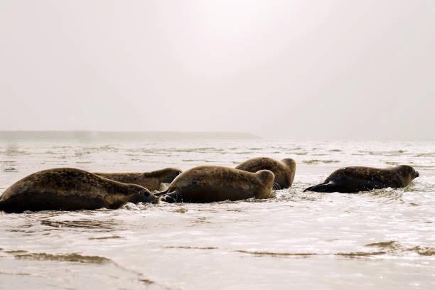 seals going into the ocean. - foto stock
