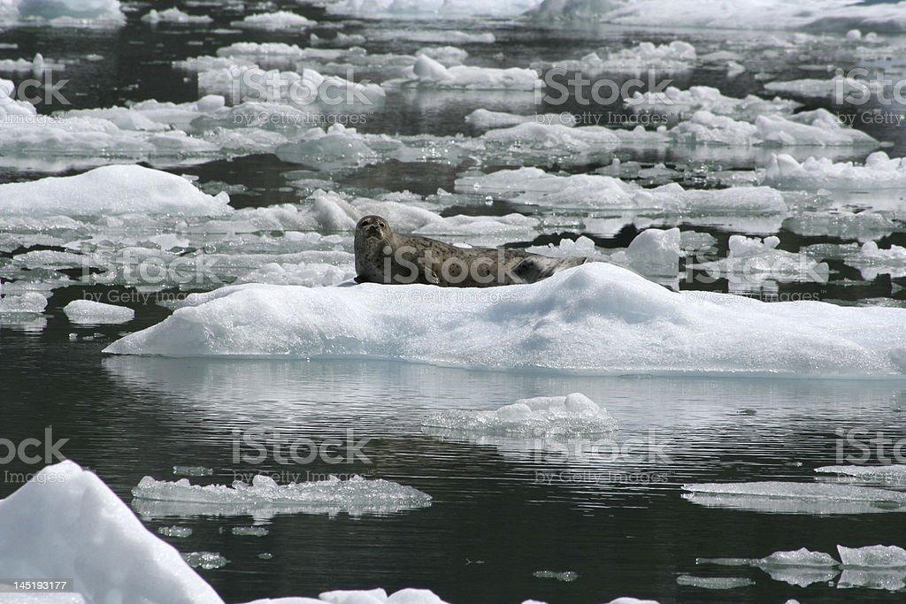 Seals in Alaska royalty-free stock photo