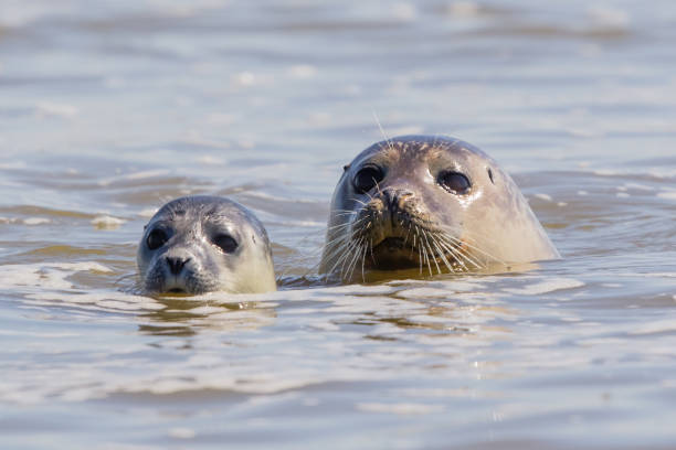 seals in Baie de Somme The largest French colony of seals is located in the Bay of Somme. picardy stock pictures, royalty-free photos & images