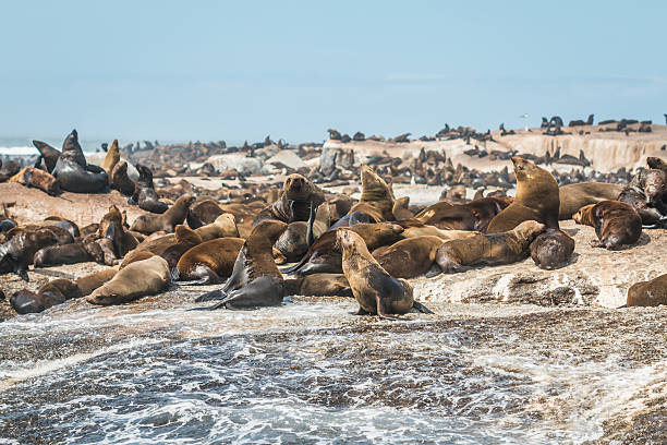 Seals in Cape Town South Africa Cape town hout stock pictures, royalty-free photos & images