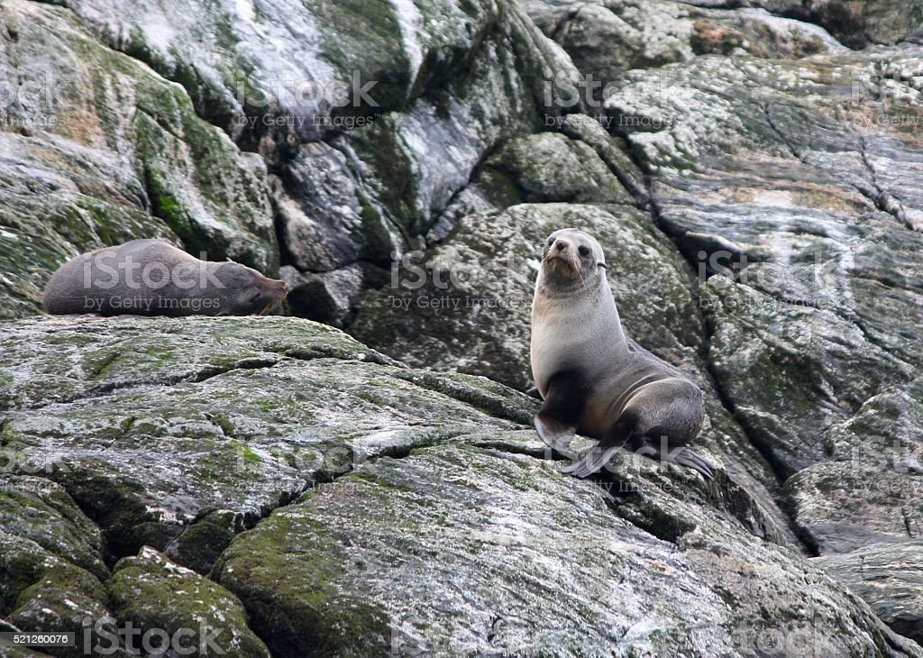 Seals in Doubtful Sound stock photo