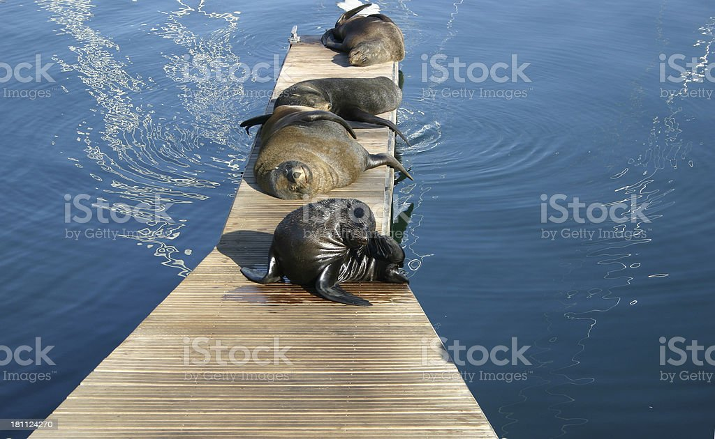 Seals in the sun royalty-free stock photo