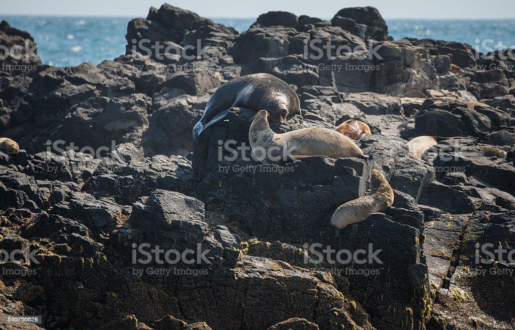 Seals life in seal rock of Australia. stock photo