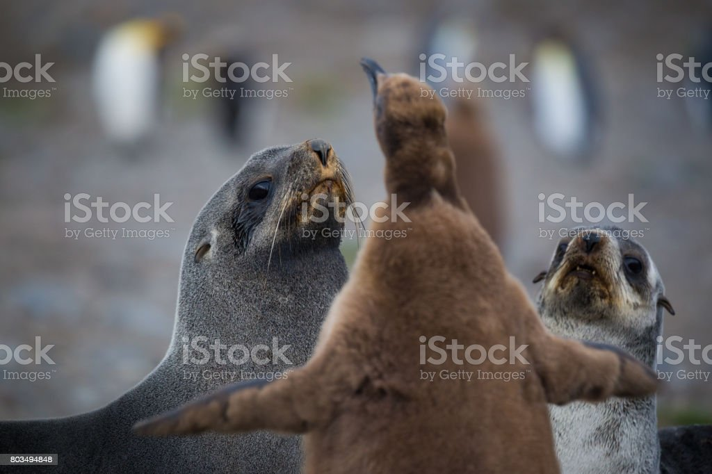 Seals look worried as they are confronted by a King Penguin chick stock photo