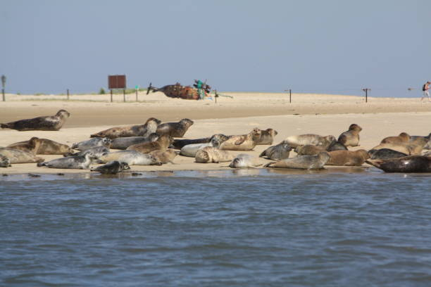 seehunde auf einer sandbank - urlaub norderney stock-fotos und bilder
