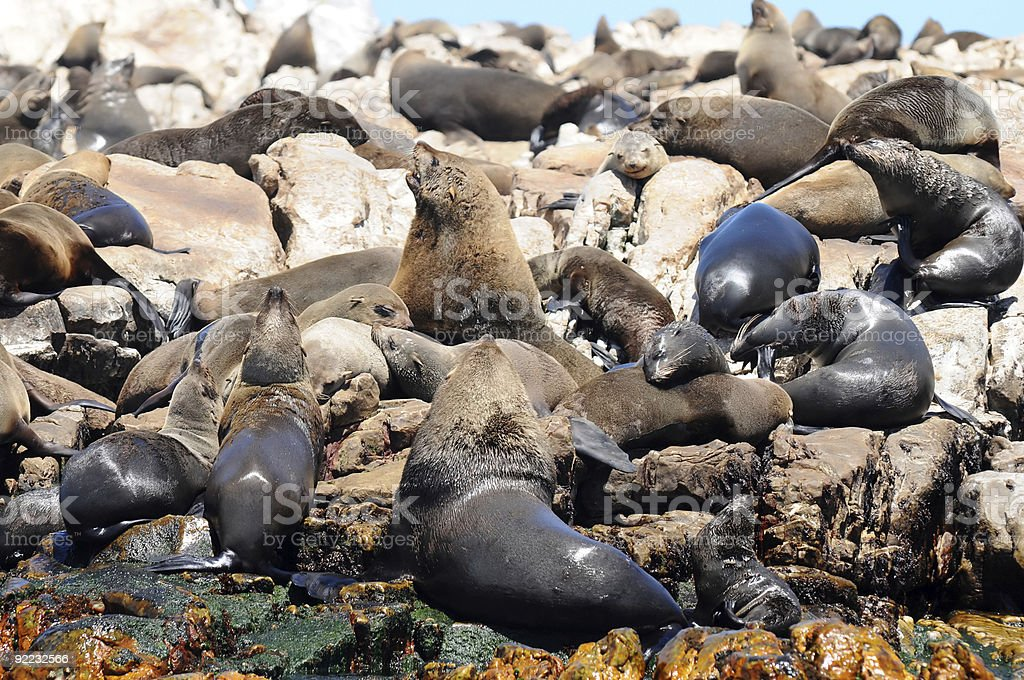 seals on dyer island royalty-free stock photo
