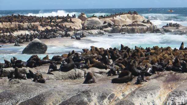 Seals on Seal Island, Hout Bay, near Cape Town, South Africa Seals on Seal Island, Hout Bay, near Cape Town, South Africa hout stock pictures, royalty-free photos & images