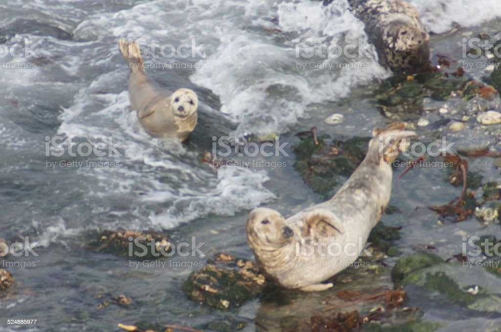 Seals on the North coast of Cornwall stock photo