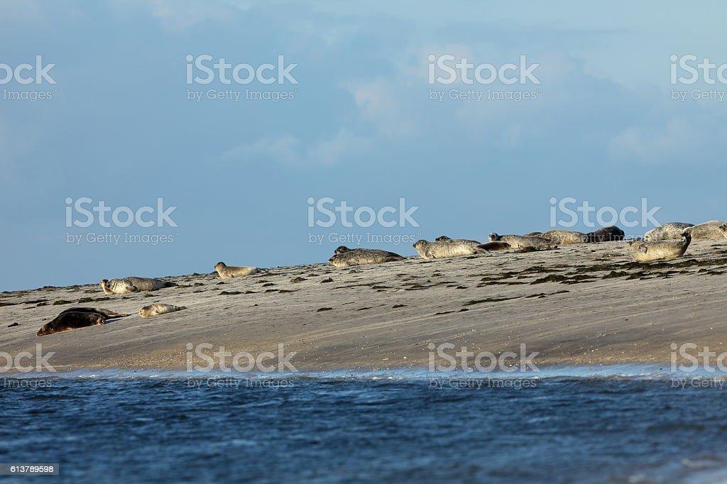Seals on the sandbank stock photo