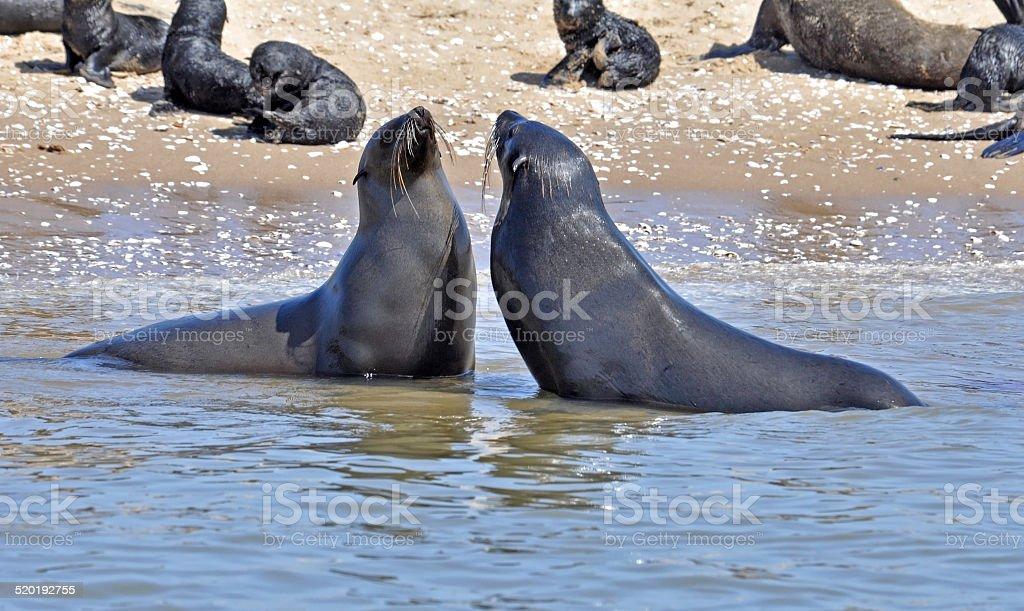 Seals on the Sceleton Coast stock photo