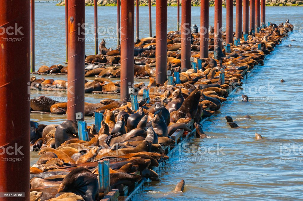 Seals packed tightly on docks of a marina in Astoria Oregon stock photo