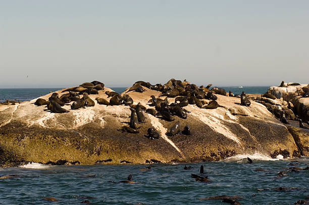 seals Colony of Cape fur seals in the Atlantic ocean Seal Island Duiker Island Cape Town South Africa hout stock pictures, royalty-free photos & images